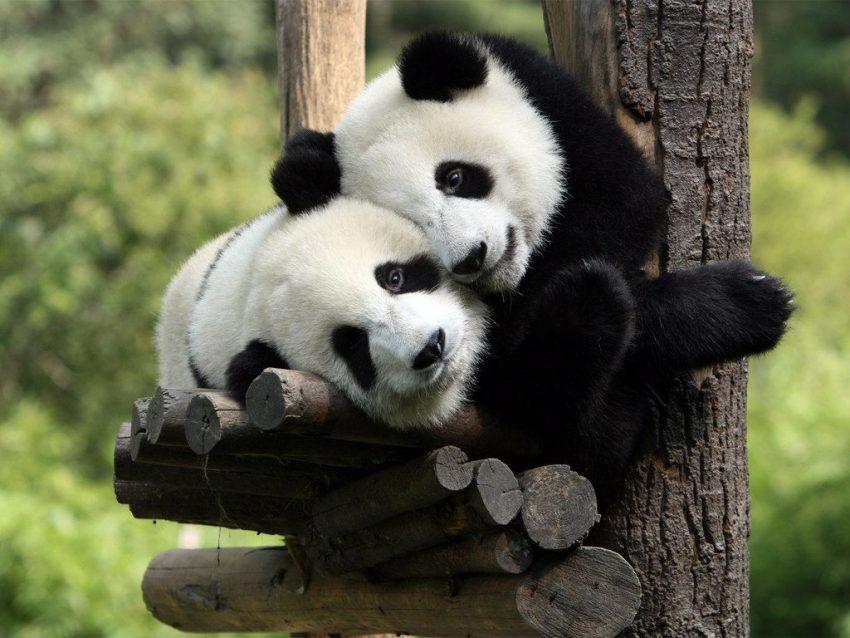 Il Signor Cin Cin amico dei panda – di Nicola