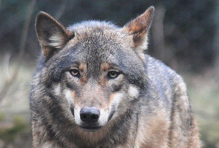 Il lupo che entrava nelle fiabe
