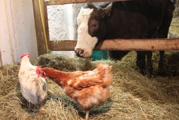 La gallina e il prepotente toro – di Nellie
